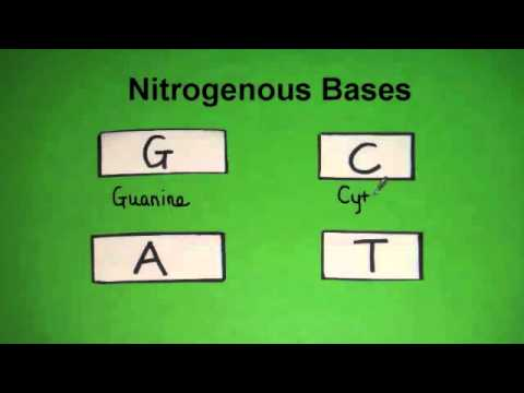 What Are The Four Bases Of Dna?